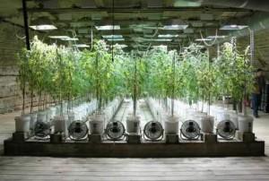 marihuana hidroponica