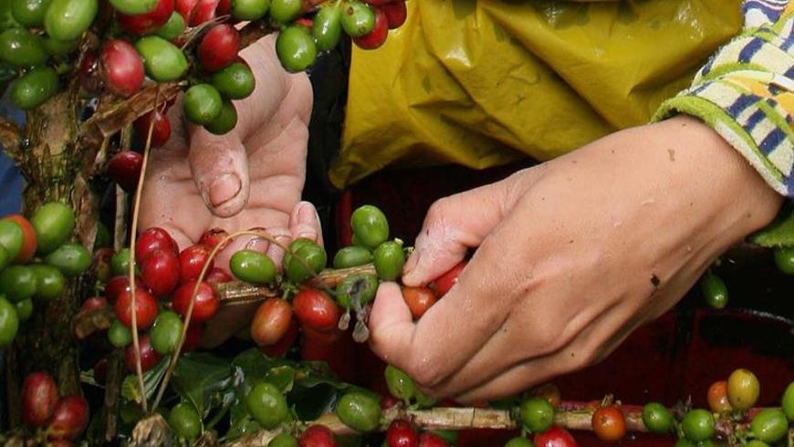 la productividad promedio alcanzó los 15,2 sacos de café verde por hectárea, la tercera más alta de los últimos 14 años. EFE