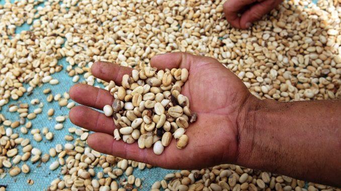 Un campesino con granos de café en Briceño