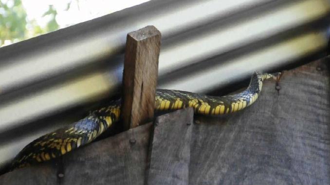 Serpiente_cazadora_culebra