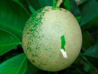 Antioquia está preparado para combatir el HLB y las enfermedades de los cítricos
