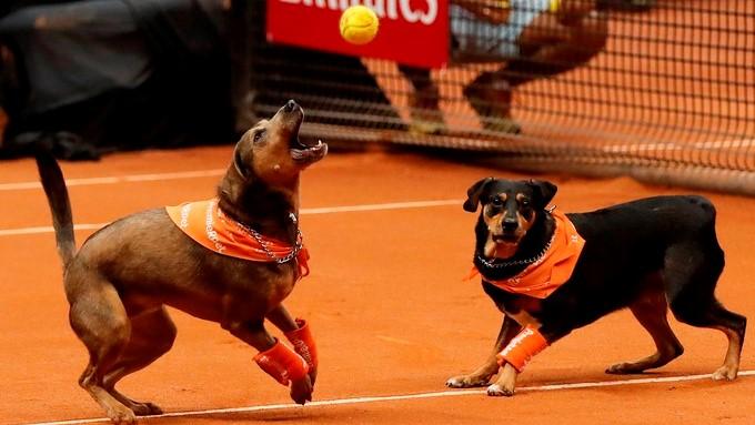 Perros recogepelotas en Brasil