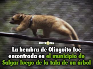 Paso a paso, así fue la liberación de una hembra de Olinguito en el municipio de Jardín