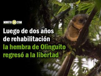 Hembra de Olinguito liberada en Jardín será monitoreada para conocer más sobre su comportamiento