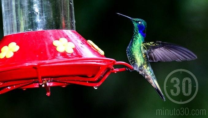 colibries en jardin antioquia 7