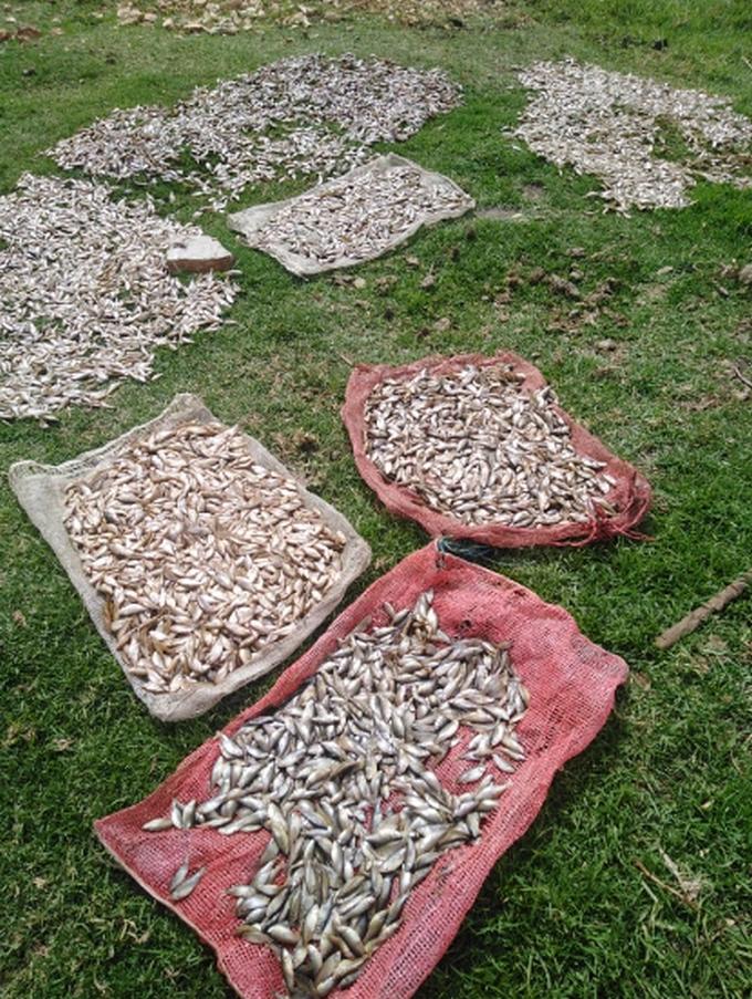 Mortandad peces fuquene1