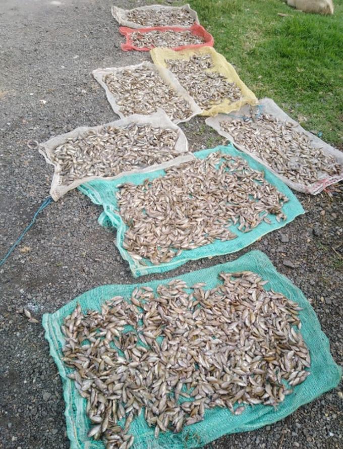 Mortandad peces fuquene2