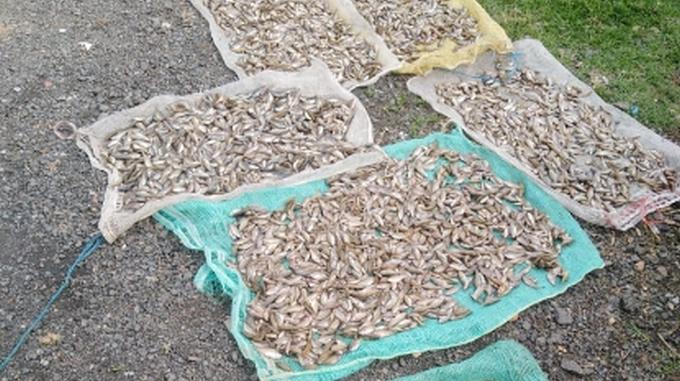 Mortandad peces fuquene21