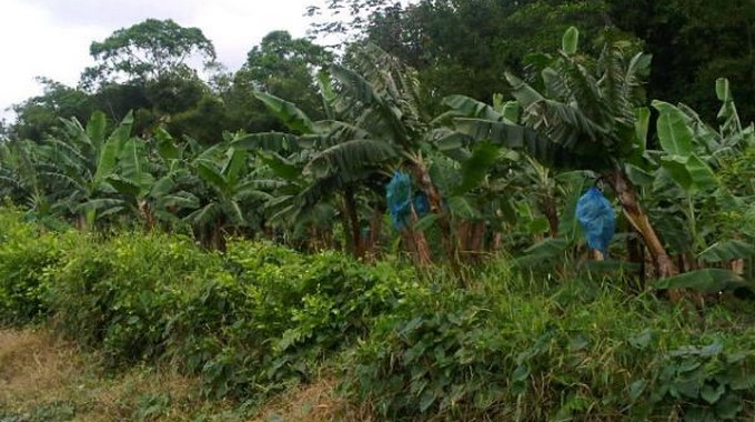 Plantas bananeras de Uraba