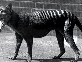 16 10 19 tigre tasmania