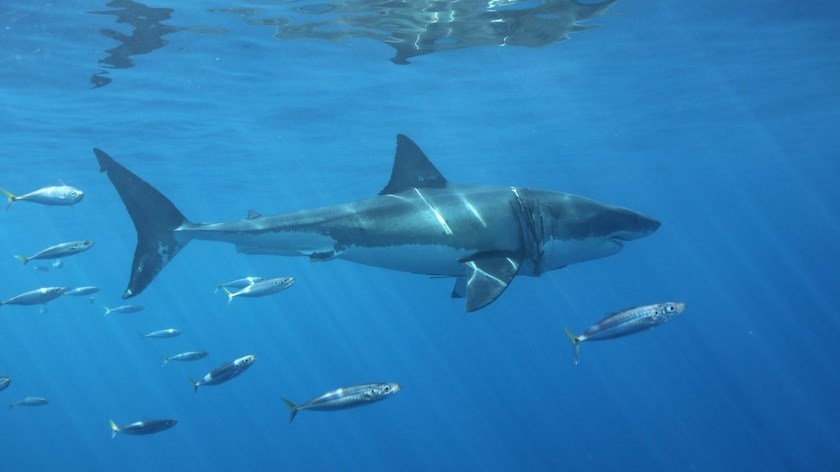 tiburones australia Copiar