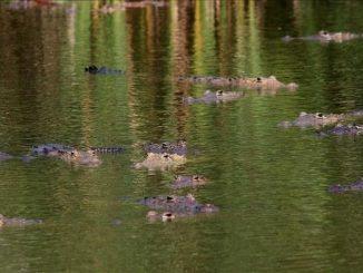 26 03 20 cocodrilos
