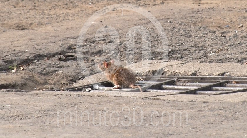 Rata raton alcantarilla plaga ciudad calle roedor ratas ratones2