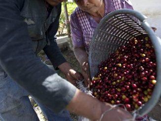 Recolectores cosecha cafetera