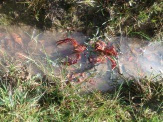 cangrejo rojo bogota