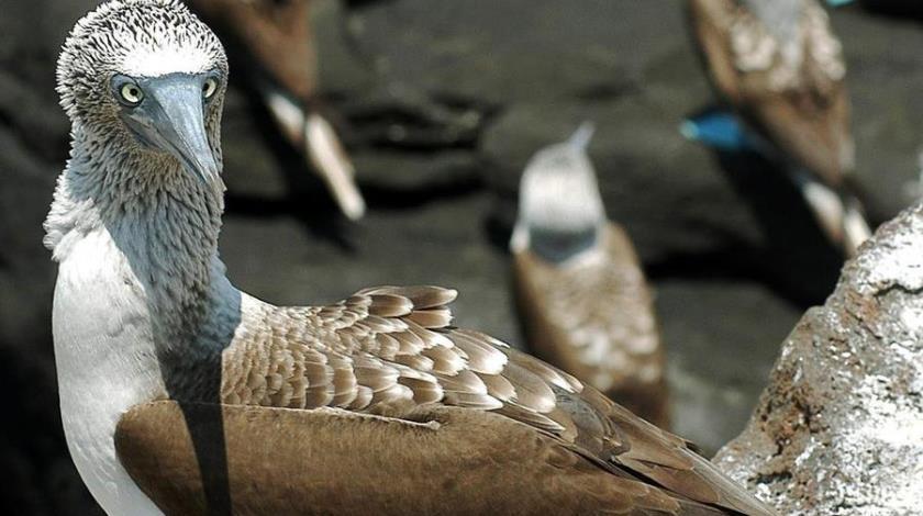 galapagos aves