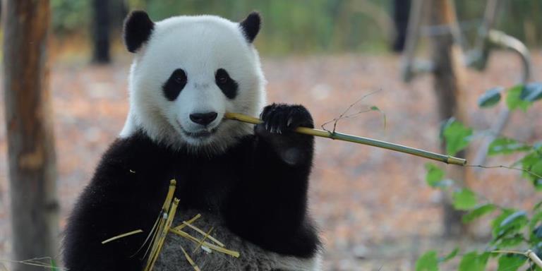 oso panda zoologico