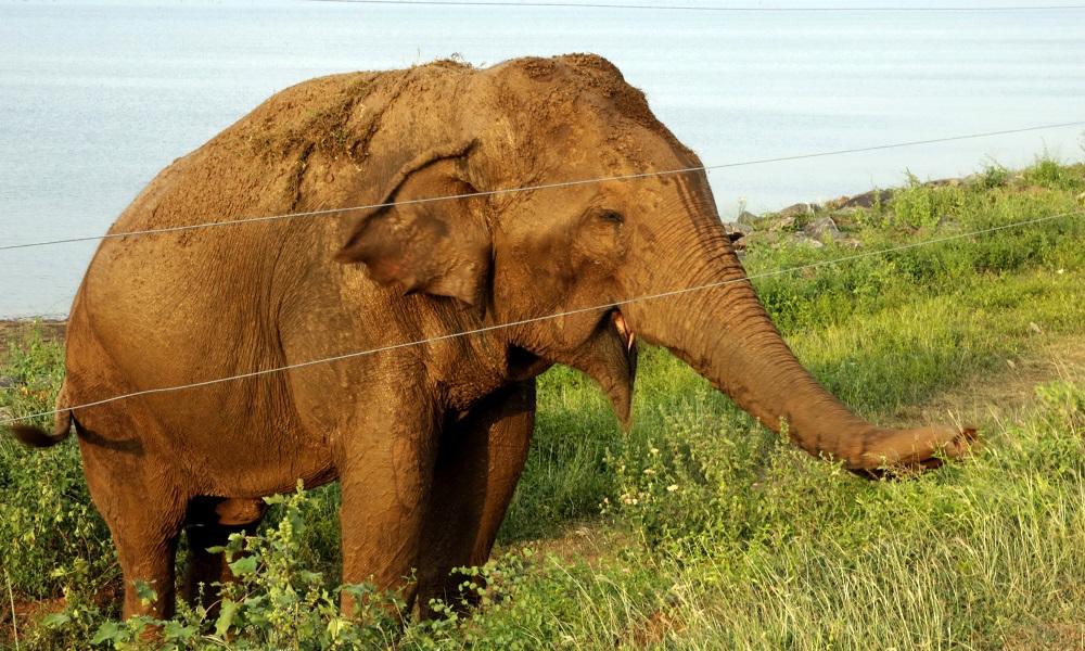 Electrocución de un conocido elefante en Sri Lanka preocupa a los ecologistas