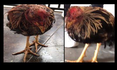 Video: Jóvenes de Rionegro denunciaron que botaron un gallo de pelea agonizando y dentro de un costal en el garaje de su casa