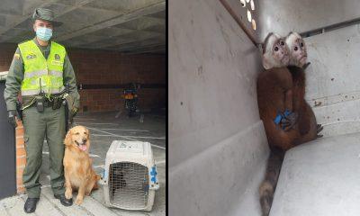 """""""Lila"""" ayudó a rescatar 2 monos cariblancos en Envigado"""