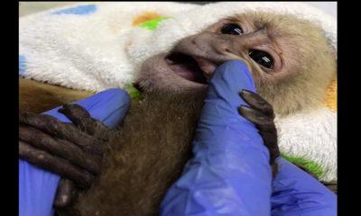 Sin dientes, amarrado, desnutrido y con severas lesiones en su cuerpo fue rescatado un mono
