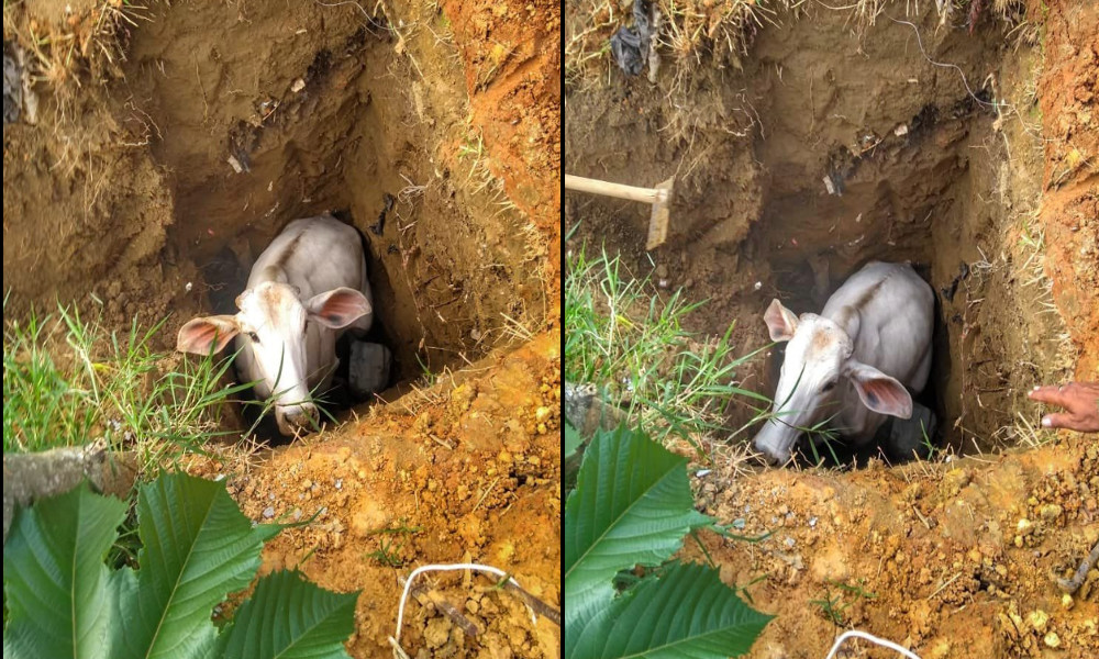 [Fotos] Tras dos horas y múltiples intentos, los Bomberos de Medellín rescataron a 'Blanquita', había caído a un hueco