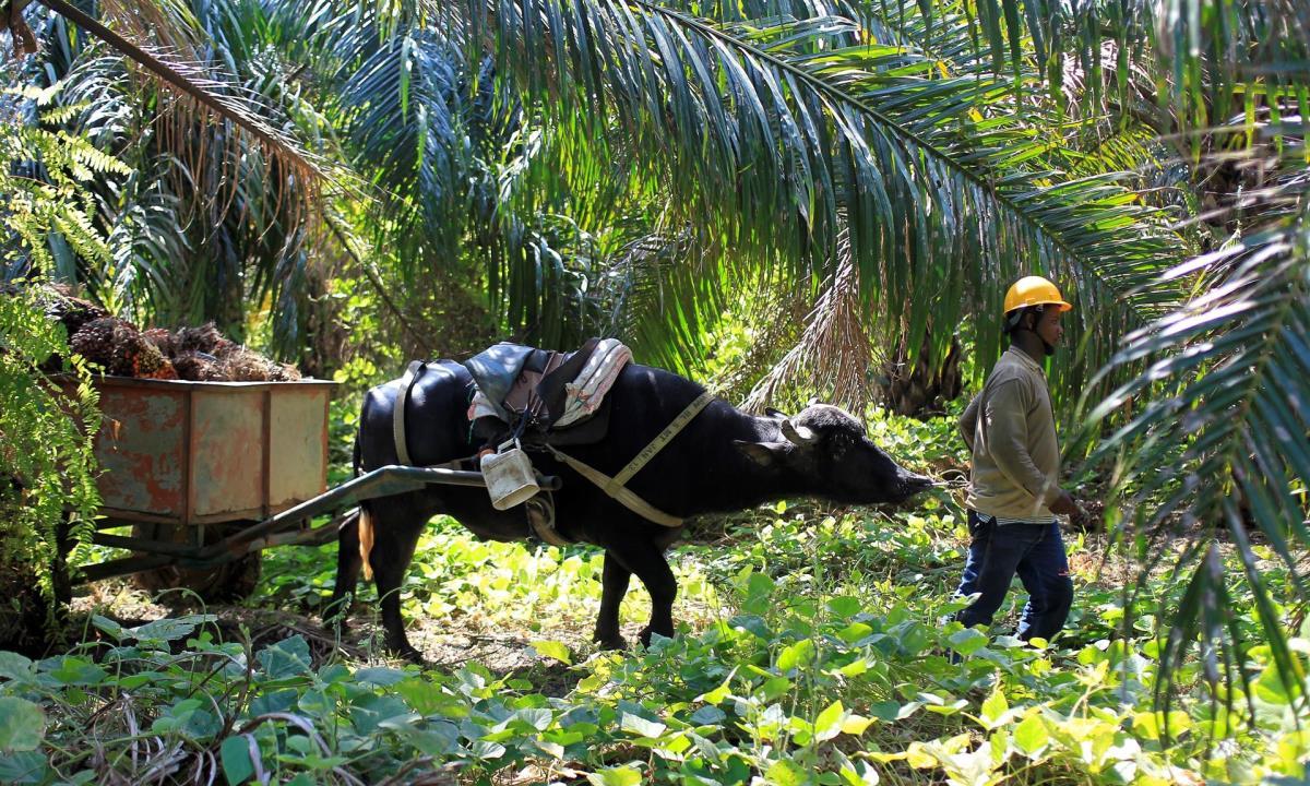 Un trabajador arrea un buey con frutos de palma de aceite en María La Baja (Colombia). EFE/ RICARDO MALDONADO ROZO/Archivo
