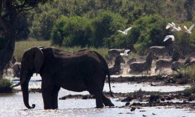 cazador elefantes