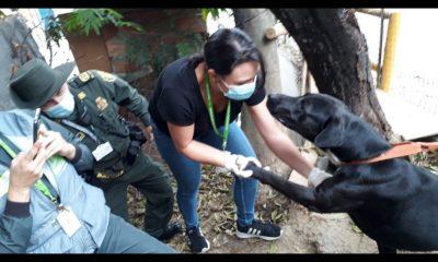 Rescatan a cuatro perritos en Medellín, uno de ellos se quejaba de dolor, tenía un tumor