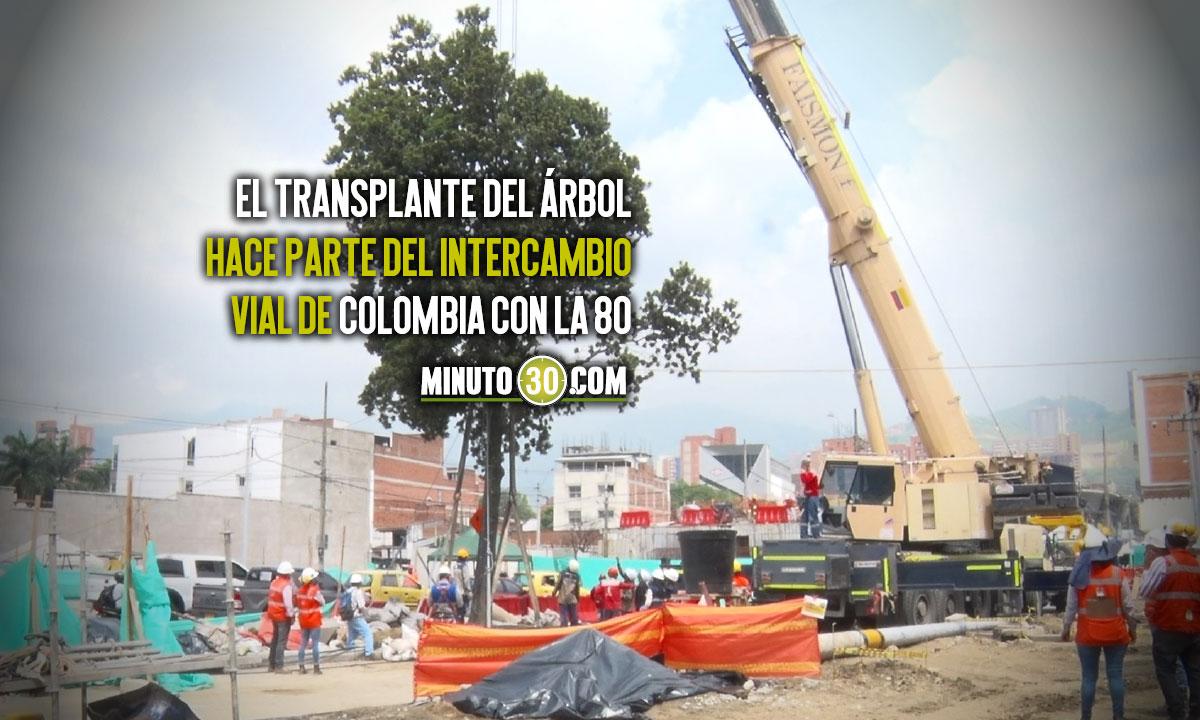 ¡Qué bueno, no lo talaron! Un árbol con más de 60 años de vida fue transplantado en Medellín