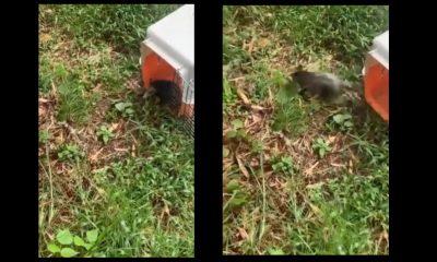 [Video] ¡Tan bueno! En Urrao liberaron una Zarigüeya