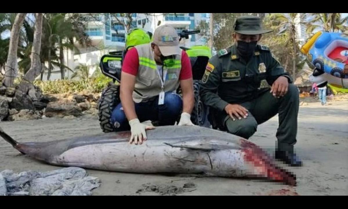 ¡Qué pesar! Encontraron un delfín muerto en una playa de Cartagen
