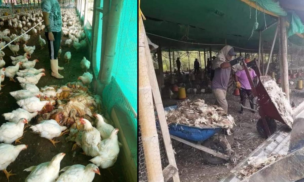 ¡Lamentable! Debido a los bloqueos empresa tuvo que sacrificar 400.000 gallinas, no tenían alimento