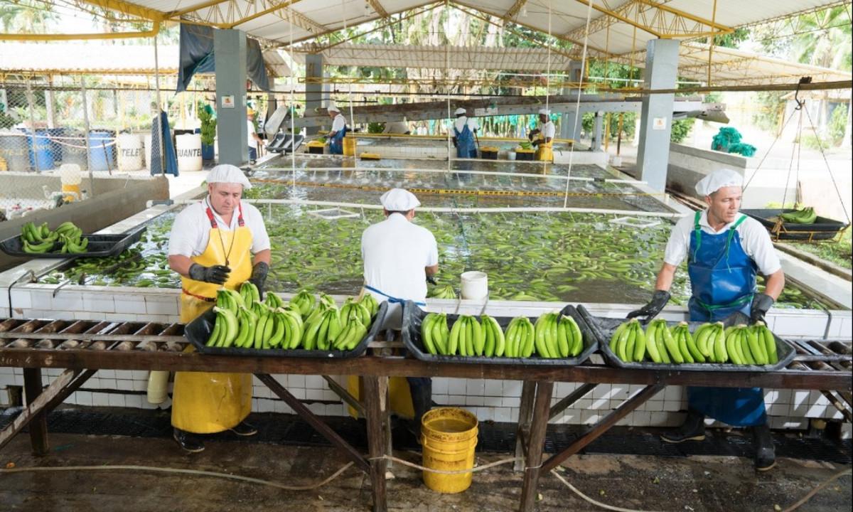 En Urabá vacunarán contra el Covid a 2 mil trabajadores de la agroindustria bananera
