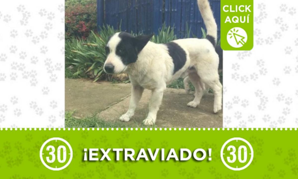 Buscan a este perrito en Guarne ¿Lo ha visto?