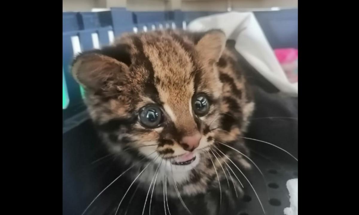 Rescataron una cría de tigrillo de tres meses de edad