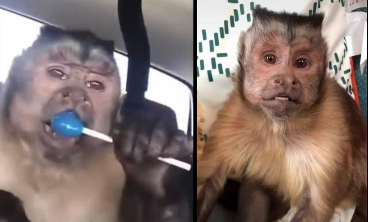 mono famoso murio