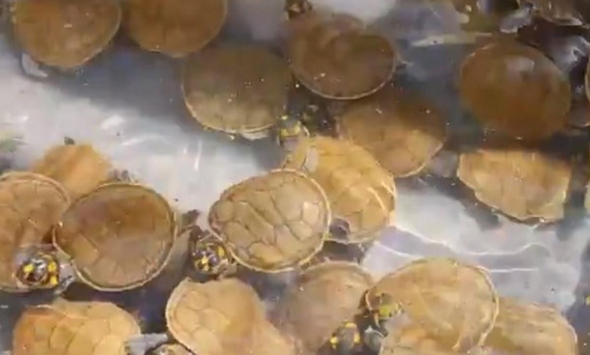 Liberaron mil tortugas de la especie Terecay en Vichada