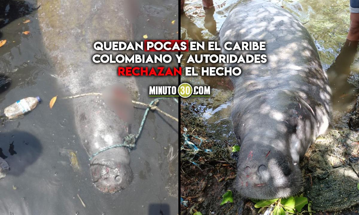 Mataron a una manatí en el Magdalena que había sido liberada