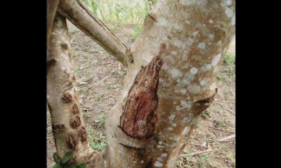 Cuentan que la Virgen del Carmen apareció en un árbol en Sucre