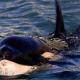 """Murió """"Toa"""", la orca bebé que apareció en aguas de Nueva Zelanda"""