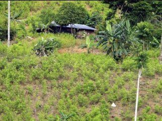 coca ONU cultivos