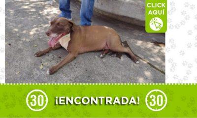 Esta perrita fue encontrada en Itagüí ¿Es suya?