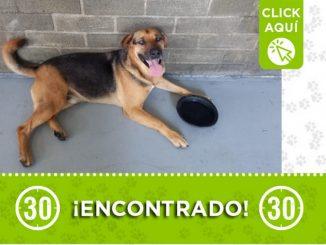 Este perrito fue encontrado en Girardota ¿Es suyo?