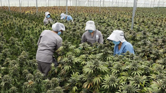 Cannabis medicimal