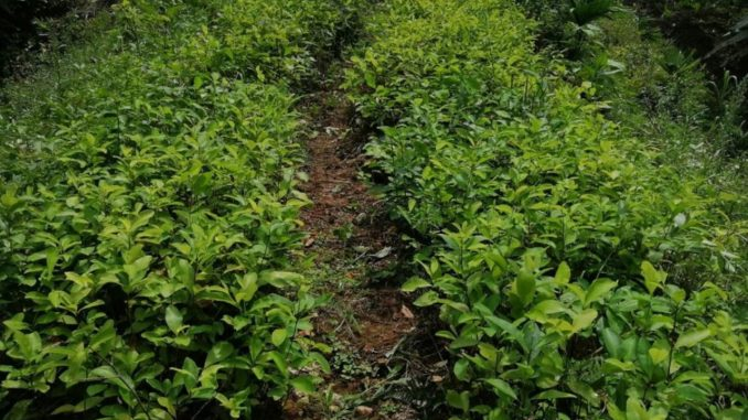 Encontraron un semillero con 30.000 matas de coca y lo destruyeron