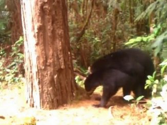 osos de anteojos durante apareamiento huila