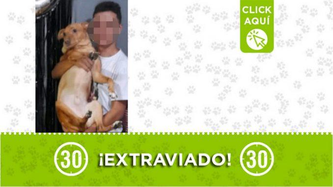 Buscan a este perrito que se perdió en Belén San Bernardo