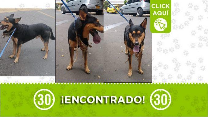 Este perrito fue encontrado en el barrio Pérez de Bello y buscan a sus dueños. Se encuentra con un cuellero azul y bozal militar. Dicen que está muy asustado.