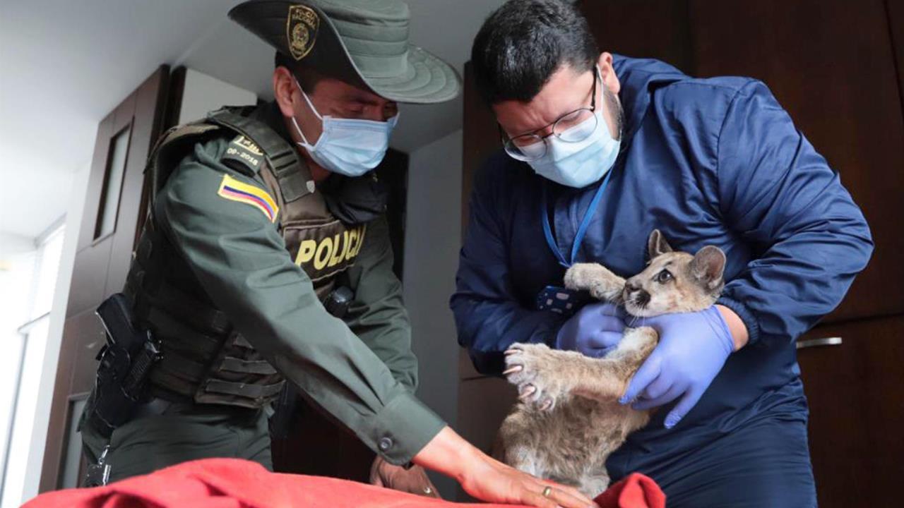 FOTOS: Rehabilitan a puma rescatada de una vivienda en Bogotá en situación precaria - Noticias de Colombia